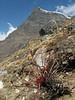 Rhodiola tibetica,  near Camp Khare 4950m