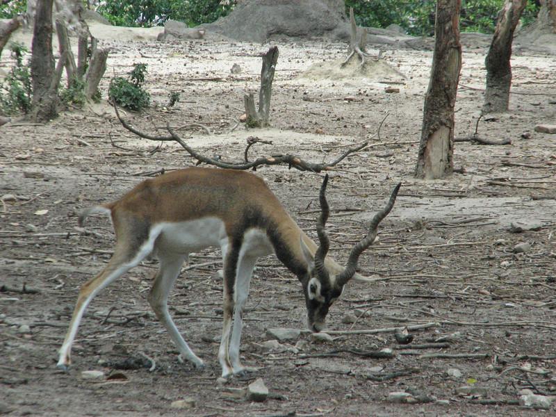 Antelope cervicapra, Black-buck (native to Nepal)