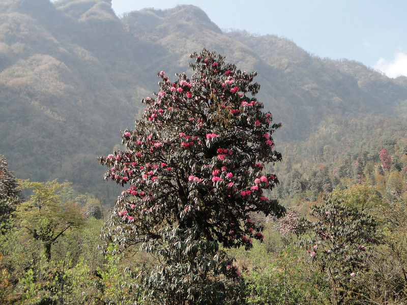 Habitat of Rhododendron arboreum ssp arboreum,  Najing 2600m-Chalem Kharka 3450m