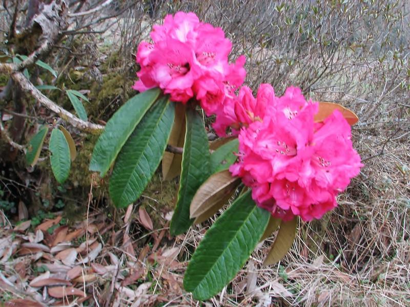 Rhododendron arboreum ssp. cinnamomeum