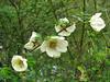 Rosa sericea, Monjo 2900m-Namche Bazaar-Tengboche-Deboche 3630m