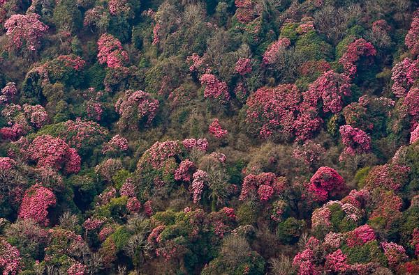 Rhododendron arboreum forest