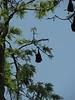 Pteropodidae spec. Flying dogs in down town Kathmandu