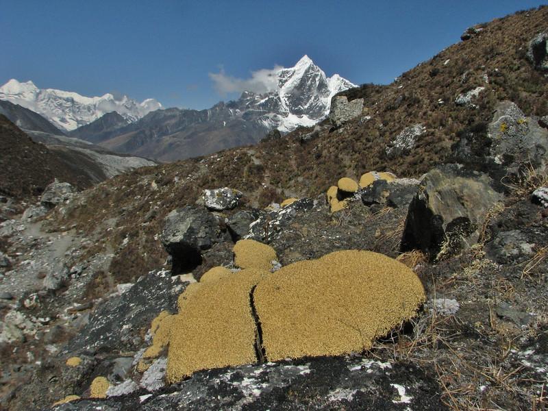 Arenaria polytrichoides, Chhukung 4780m-Island Peak base camp 5000m