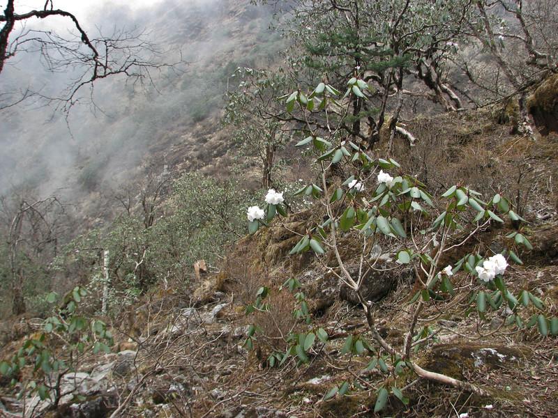 Rhododedron arboreum var. album, Zatwrala 3800m-Lukla 2800m