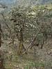 Viburnum nervosum (syn. V. cordifolium), Zatwrala 3800m-Lukla 2800m
