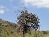 Rhododendron arboreum ssp cinnamomeum var. roseum,( undersite leaf, indumentum brown) near Chalem Kharka 3450m