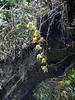 Dendrobium moschatum,  Puyan 2725m-Pangkongma 2850m
