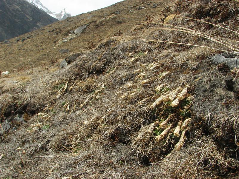 Gentiana cf. depressa (autumn flowering 9-11)Tangnag 4300m-Khare 4950m