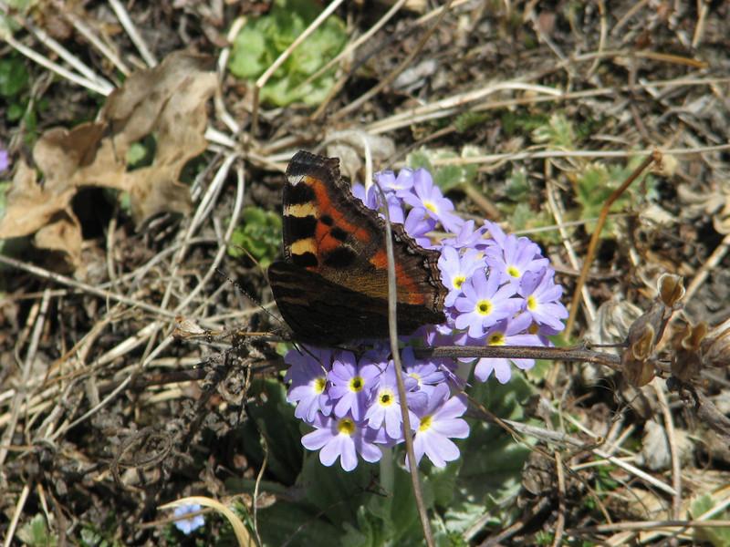 Aglais kaschmirensis