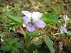 Viola pilosa
