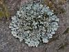 Lichen? ,  Namche Bazaar 3450m-Phakding 2650m