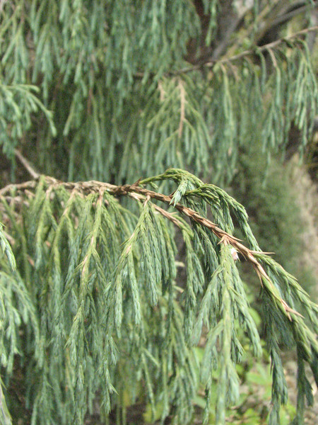 Cupressus corneyana