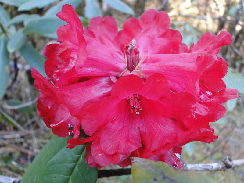 Rhododendron arboreum ssp. arboreum, Pangkongma 2850m-Najing 2600m