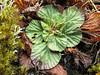 Corallodiscus lanuginosus, Monjo 2900m-Namche Bazaar-Tengboche-Deboche 3630m