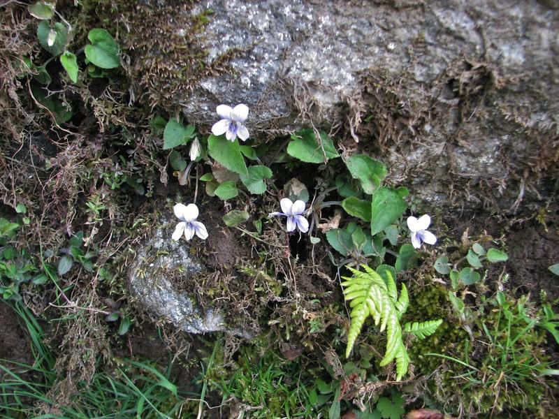 Viola pilosa, Lukla 2800m