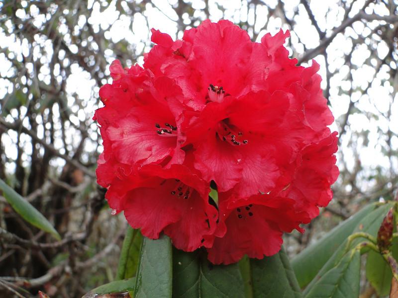 Rhododendron arboreum ssp arboreum,( undersite leaf, indumentum whitish) near Chalem Kharka 3450m