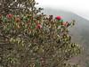 Rhododendron arboreum ssp. cinnamomeum, underside leafs, indementum=brownish (cinnamon) Monjo 2900m-Namche Bazaar-Tengboche-Deboche 3630m
