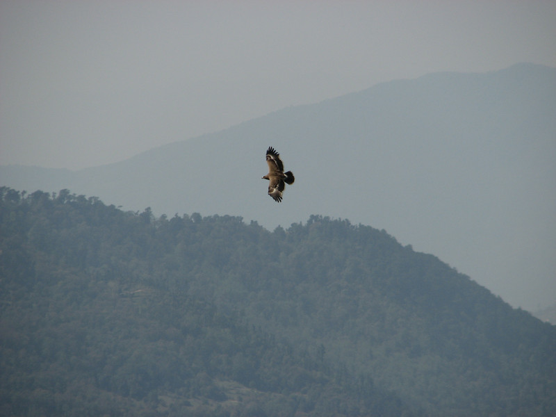 Tawny Eagle, (NL: Steppenarend)     Puyan 2725m-Pangkongma 2850m