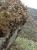 Cassiope fastigiata, near Zatwrala 3800m