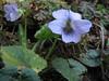 Viola pilosa, Pangkongma 2850m-Najing 2600m