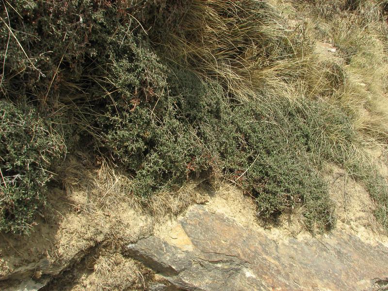 Cotoneaster microphyllus,  Deboche 3650m-Namche Bazaar 3450m