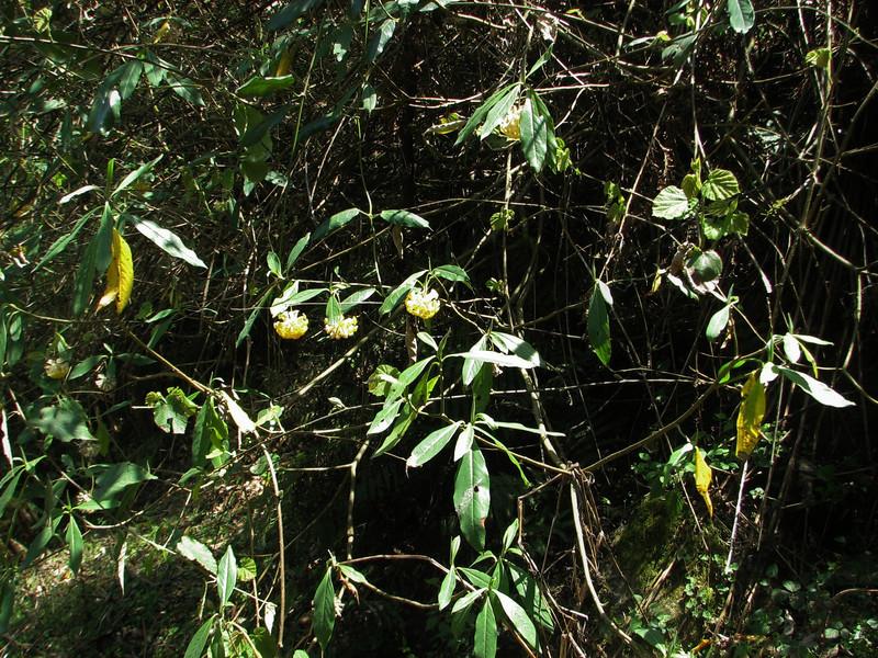 Edgeworthia gardneri