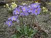 Primula strumosa ssp. strumosa, (syn. P. calderiana ssp. strumosa Richards) and Primula denticulata, Zatwrala 3800m-Lukla 2800m