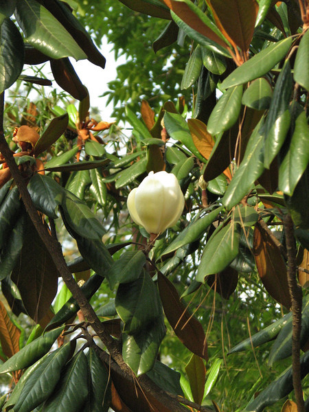 Magnolia grandiflora, Kathmandu 1300m