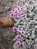 Waldheimia nivea