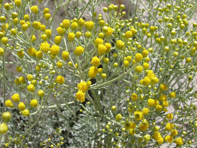 Tanacetum gracile (cf. artemisioides)