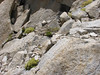 Thylacospermum caespitosum