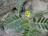 Tribulus terrestris, Hushe 3050 - Skardu, Baltistan