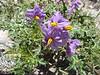 Solanum surratense