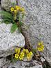 Saxifraga stenophylla