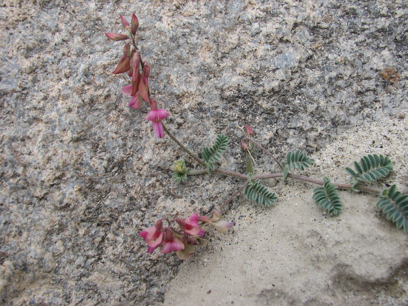 Astragalus cf. scorpiurus, Askole 3000m.- Jula 3140m. Baltistan