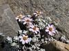 Waldheimia vestita