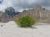 Crepis flexuosa