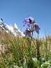 Delphinium cashmerianum and Layla Peak 6200m,