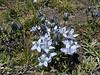 Lamatogonium carinthiacum