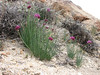 Allium przewalskianum