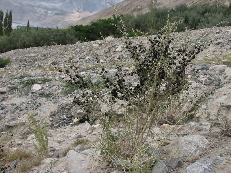 Lycium ruthenicum