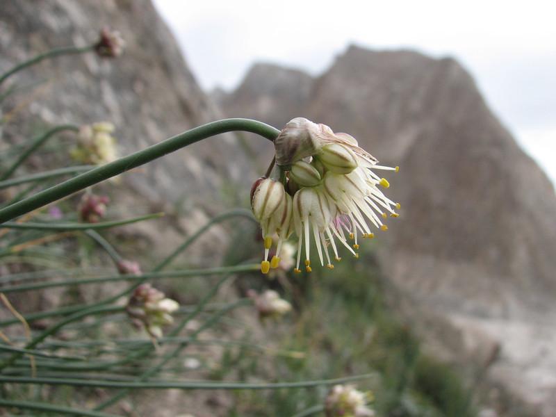Allium oreoprasum