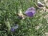 Cicer microphyllum