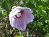 Codonopsis obtusa