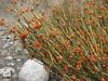 Ephedra pachyclada or Ephedra intermedia
