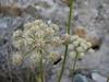 Heracleum pinnatum ?