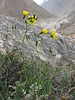 Youngia tenuifolia