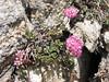 Hylotelephium ewersii