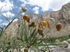 Clematis ladakhiana